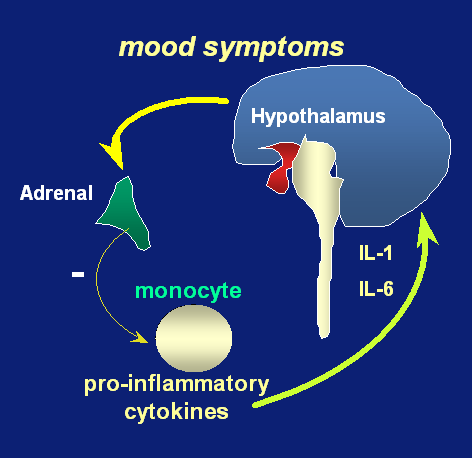 Macrophage / inflammation / immune theory of depression Smith (1991): A pro-inflammatory status of macrophages / monocytes has been reported in mood
