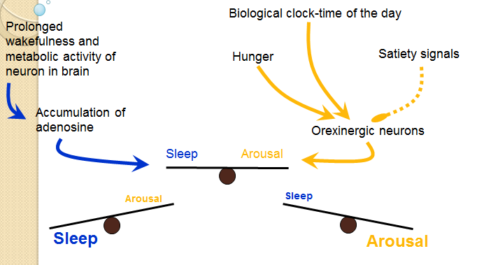 Adenosine, time of day and hunger Orexinergische neuronen ontvangen een excitatorisch signal van de biologische klok (wat slaap-wakker ritme controleert).