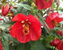 Abutilon Abutilon Aminka Julia Marian Orange- Patio dish oostredisch (P) Purple Big Bell Patio Patio King Patio Patio dish (P) megapotanicum Big Bell with