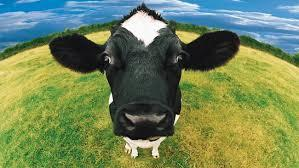 Any Cow