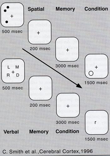 - Single neuron electrical recorded stimuli - Delayed matching to sample taak; in ventrale stroom identiteit objecten (aapafbeelding) Dorsaal: positie onthouden (infratemporale sulcus verder naar