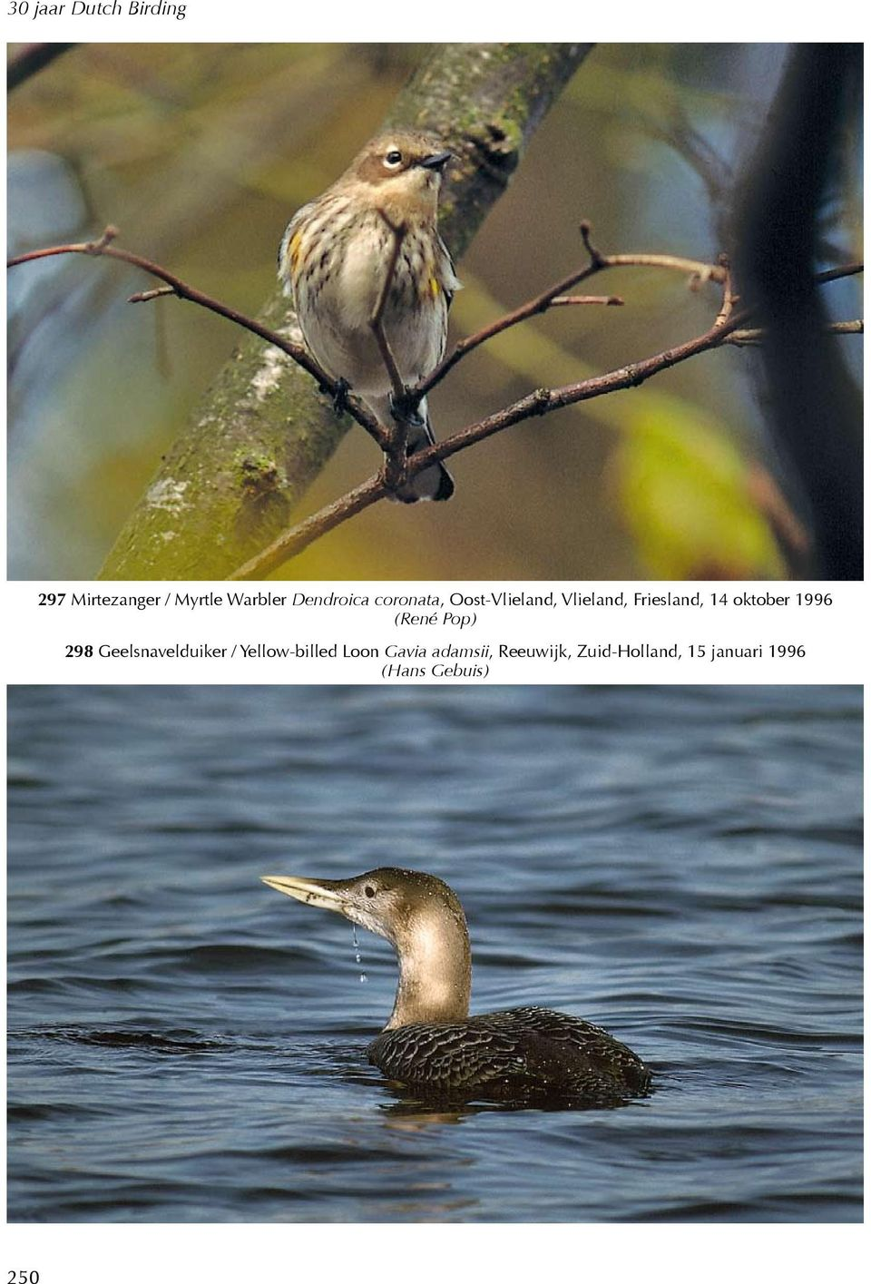 Pop) 298 Geelsnavelduiker / Yellow-billed Loon Gavia
