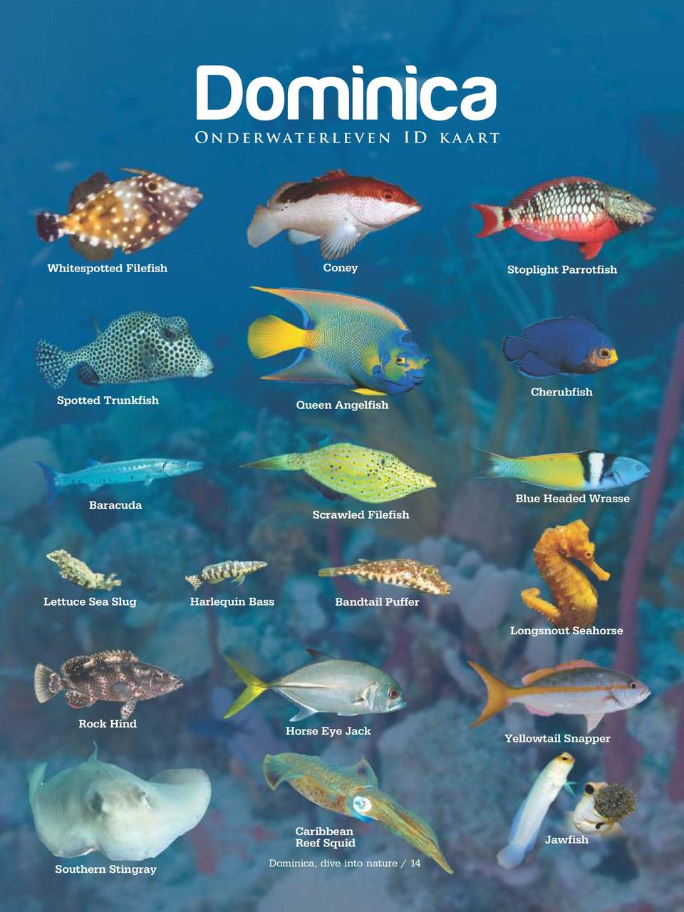 Headed Wrasse Lettuce Sea Slug Harlequin Bass Bandtail Puffer Longsnout Seahorse Rock Hind