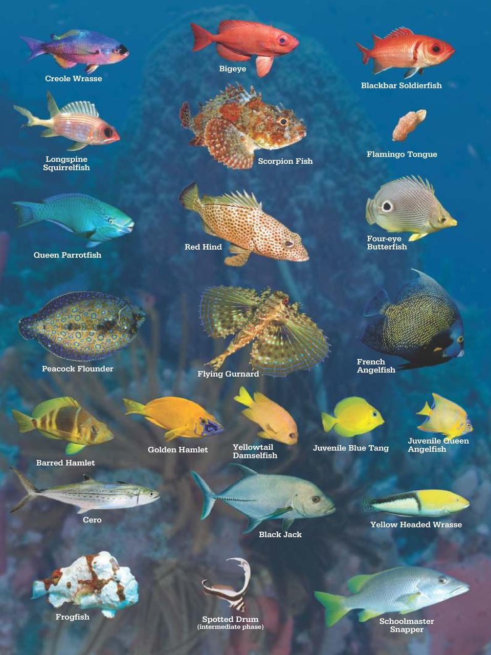 Barred Hamlet Golden Hamlet Yellowtail Damselfish Juvenile Blue Tang Juvenile Queen Angelfish