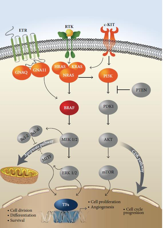 Literatuur BRAF amplification: increased tumor fitness Cancer research