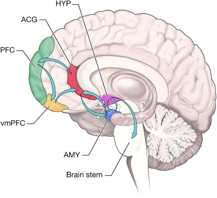 Emotieverwerking ( arousal ) Amygdala